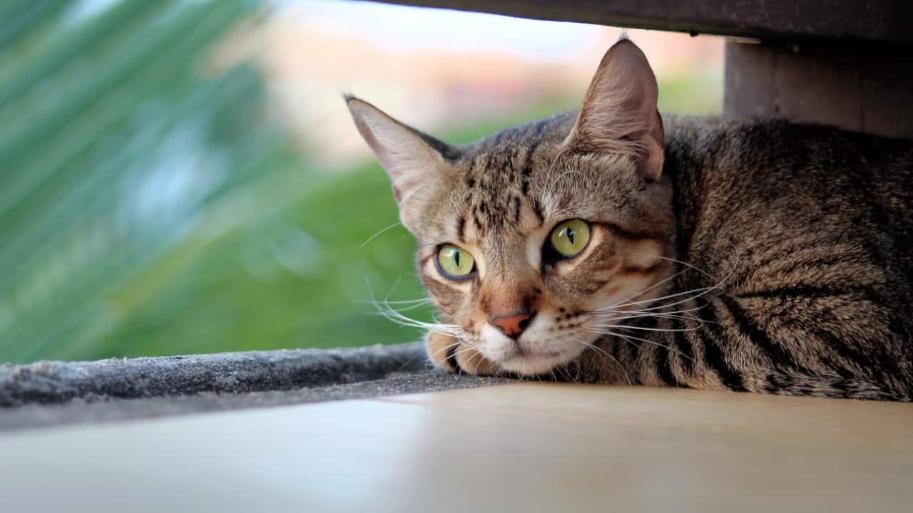 Watch Full Movie - להיות חתול